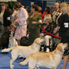 Labradors in the ring