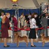 Finnish Spitz in the ring