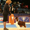 Sporting Group winner - English Springer Spaniel