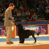 Working Group winner: Portuguese Water Dog