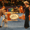 Best-Bred-By-Exhibitor in Show judging - Dalmatian
